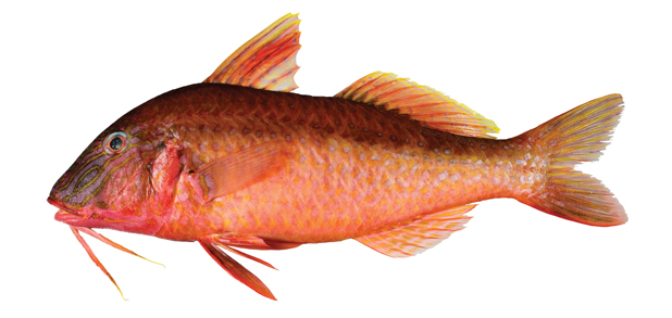 Red mullet photos info catch cook buy for Mullet fish bait